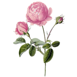 Hydrolat Rose de Damas Bio*