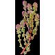 Hydrolat Thym Thujanol Bio*