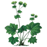 Alchemille Bio en gélules (Alchemilla vulgaris)