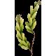 Huile essentielle de Buplèvre (Seseli d'Ethiopie - Bupleurum fructicosum L.)