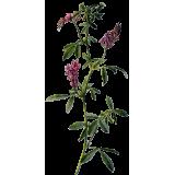 Alfalfa ou Luzerne bio en gélules (Medicago sativa)