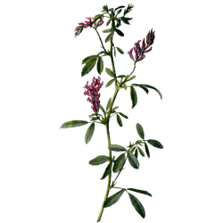 Alfalfa Bio en gélules