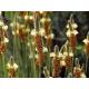 Psyllium blond bio en gélules (Plantago ovata)