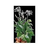 Ail des Ours Bio en gélules (Allium ursinum)