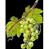 Vigne Rouge Bio en gélules pour la circulation (Vitis vinifera)