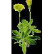 Piloselle Bio en gélules (Hieracium pilosella)