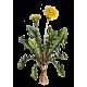 Pissenlit Bio en gélules (Taraxacum dens leonis)