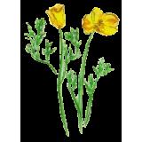 Escholtzia bio en gélules (Escholtzia californica)
