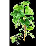 Cassis bio en gélules (Ribes nigrum)