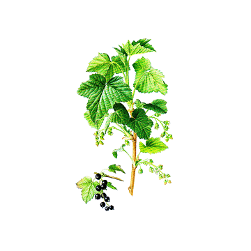 https://www.abcdelanature.com/3041-thickbox/cassis-bio-gelules-herboristerie.jpg