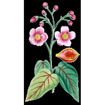 https://www.abcdelanature.com/3044-thickbox/urucum-bio-gelules-herboristerie.jpg
