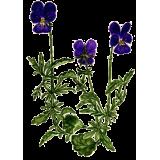 Pensée Sauvage Bio en gélules (Viola tricolor)