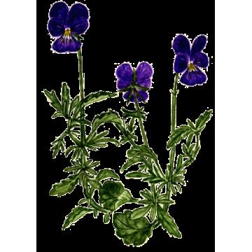 https://www.abcdelanature.com/3045-thickbox/pensee-sauvage-bio-herboristerie.jpg