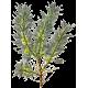 Astragale Bio en gélules (Astragalus membranaceus)