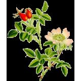 Cynorrhodon bio en gélules (Rosa canina)