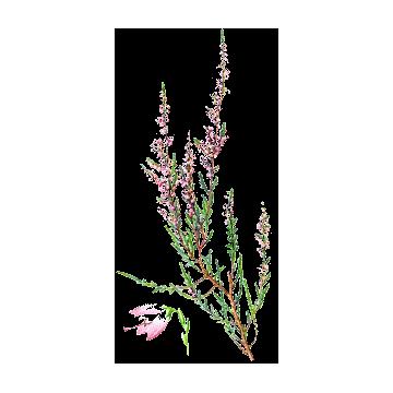 https://www.abcdelanature.com/3058-thickbox/bruyere-bio-gelules-herboristerie.jpg