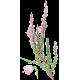 Bruyère Bio en gélules, voies urinaires (Calluna vulgaris)