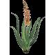 Aloe Vera BIO extrait en gélules