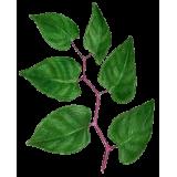 Renouée du Japon Trans-resvératrol végétal (Polygonum cuspidatum)