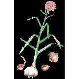 Ail BIO en gélules (Allium sativum)