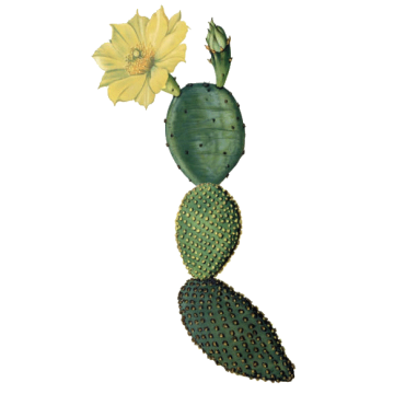 https://www.abcdelanature.com/3163-thickbox/nopal-opuntia-bio.jpg