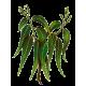 Huile essentielle Eucalyptus Mentholé Bio