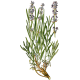 Lavande Officinale BIO en gélules (Lavandula angustifolia)