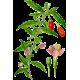 Extrait de baies de Goji BIO en gélules (Lycium barbarum tibeticum)
