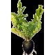 Radis noir Bio en gélules (Raphanus sativus var niger)