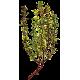 Huile essentielle Thym à Linalol Provence bio (Thymus vulgaris)
