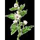 Guimauve racine BIO en gélules (Althaea officinalis) - Contre les inflammations