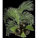 Açaie Bio en gélules (Euterpe oleracea)