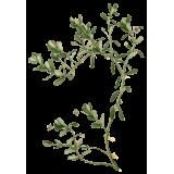 Bacopa Brahmi extrait BIO à 20% bacosides en gélules