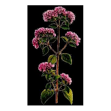 https://www.abcdelanature.com/3230-thickbox/marjolaine-bio-gelules-herboristerie.jpg