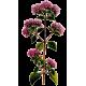 Marjolaine Bio en gélules (Origanum majorana)