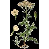 Achillée Millefeuille en gélules (Achillea millefolium)