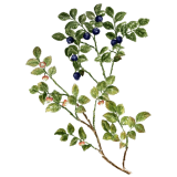 Myrtille feuilles BIO en gélules (Vaccinum myrtillus)