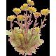 Huile essentielle Hélichryse Italienne ou Immortelle bio (Helichrysum italicum)
