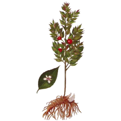 Fragon Bio en gélules