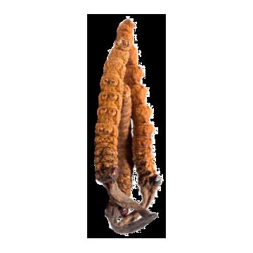 Cordyceps Bio en gélules