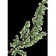 Armoise Bio en gélules (Artémisia vulgaris)