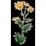 Chrysanthellum Americanum BIO en gélules