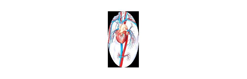 Circulation artérielle & Coeur