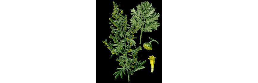Plantes en gélules